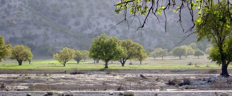 Oak_Trees_-_Dasht-e-Barm_Near_Kazerun_-_panoramio